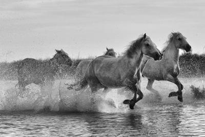 Camargue horses gallop through water. by Kike Calvo