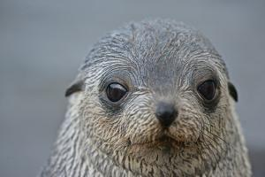 Close Up Portrait of a Southern Fur Seal Pup by Kike Calvo