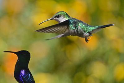 Female crowned woodnymph hummingbird, Thalurania columbica. by Kike Calvo