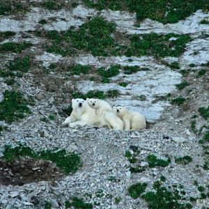 Polar Bears, Ursus Maritimus, on Akpatok Island by Kike Calvo