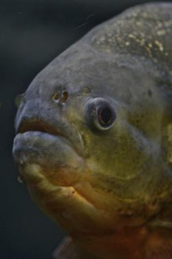 Portrait of a Red Bellied Piranha, Pygocentros Nattereri, a South American Freshwater Fish by Kike Calvo