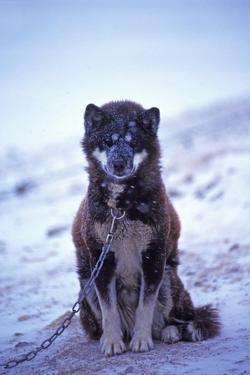 Portrait of a Tethered, Rare Canadian Eskimo Dog by Kike Calvo