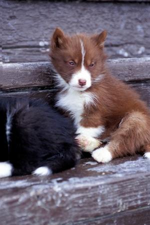 Portrait of Rare Canadian Eskimo Puppies by Kike Calvo