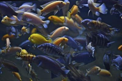 Rift Lake Cichlid Fish