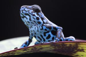 Blue Strawberry Poison Dart Frog, Dendrobates Pumilio Colubre from the Tropical Rain Forest of Pana by kikkerdirk