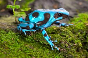 Frog in Tropical Rain Forest Blue Poison Dart Frog Dendrobates Auratus of Rainforest in Panama Beau by kikkerdirk
