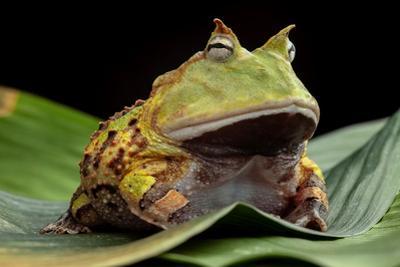 Pacman Frog Or Toad by kikkerdirk