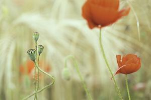 Poppy Flower in Corn Field Flowers and Seed Buds of Red Poppies between Wheat. Summer Wildflowers I by kikkerdirk