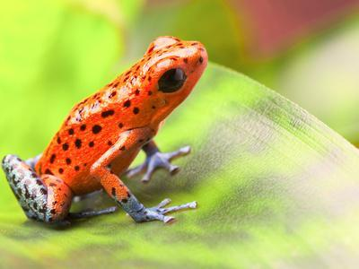 Red Poison Arrow Frog on Leaf. Oophaga Pumilio, an Amphibian of the Tropical Rainforest in Panama.