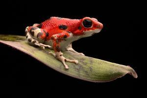 Red Strawberry Poison Dart Frog, Oophaga Pumilio from the Bocas Del Toro Archipelago in Panama. Mor by kikkerdirk