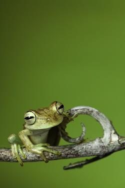 Tree Frog Golden Color Rainforest Amphibian On Branch Background Copy Space by kikkerdirk