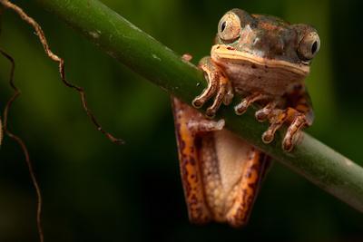 Tree Frog Sitting On Branch In Tropical Amazon Rain Forest Brazil, Phyllomedusa Hypochondrialis
