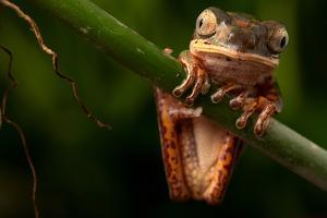 Tree Frog Sitting On Branch In Tropical Amazon Rain Forest Brazil, Phyllomedusa Hypochondrialis by kikkerdirk