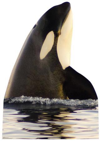 Killer Whale Standup