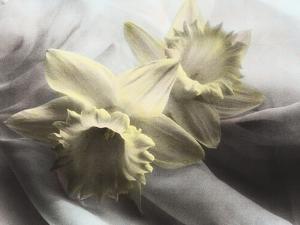 Daffodils by Kim Koza