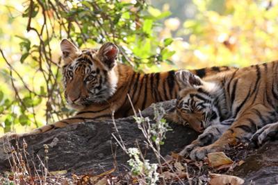 Bengal Tiger (Panthera Tigris Tigris), Bandhavgarh National Park, Madhya Pradesh, India, Asia by Kim Sullivan