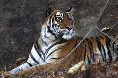 Bengal Tiger, Panthera Tigris Tigris, Bandhavgarh National Park, Madhya Pradesh, India by Kim Sullivan