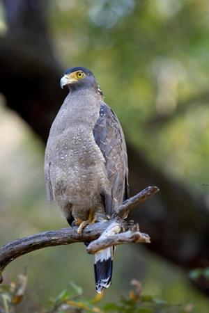 Crested Serpent-Eagle (Spilornis Cheela), Bandhavgarh National Park, Madhya Pradesh, India, Asia by Kim Sullivan