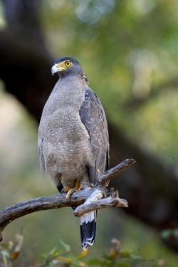 Crested Serpent-Eagle (Spilornis Cheela), Bandhavgarh National Park, Madhya Pradesh, India, Asia by Kim Sullivan