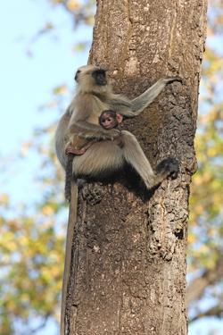 Gray Langur (Hanuman Langur) (Semnopithecus Hector) by Kim Sullivan