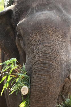 Indian Elephant (Elephas Maximus Indicus), Bandhavgarh National Park, Madhya Pradesh, India, Asia by Kim Sullivan
