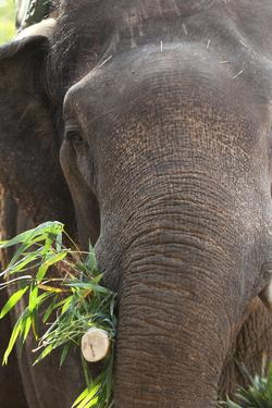 Indian Elephant (Elephas Maximus Indicus), Bandhavgarh National Park, Madhya Pradesh, India, Asia by Kim Sullivan