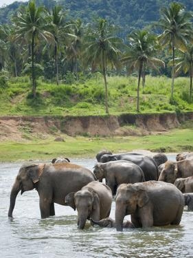 Asian Elephants Bathing in the River, Pinnawela Elephant Orphanage, Sri Lanka, Indian Ocean, Asia by Kim Walker