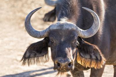 Close Up of Buffalo (Syncerus Caffer) Head and Horns by Kim Walker