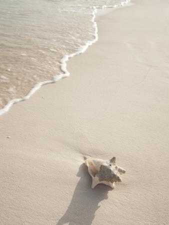 Conch Shell Washed Up on Grace Bay Beach, Providenciales, Turks and Caicos Islands, West Indies