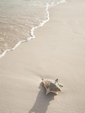 Conch Shell Washed Up on Grace Bay Beach, Providenciales, Turks and Caicos Islands, West Indies by Kim Walker