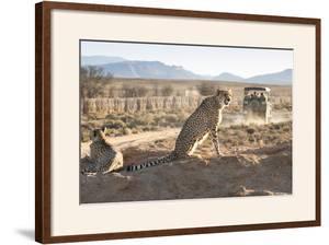 Safari Jeep Leaving Cheetahs (Acinonyx Jubatus) on Game Drive by Kim Walker