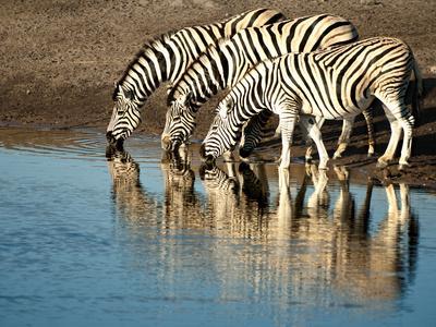 Trio of Common Zebras (Equus Burchelli) at a Water Hole, Etosha National Park, Namibia, Africa