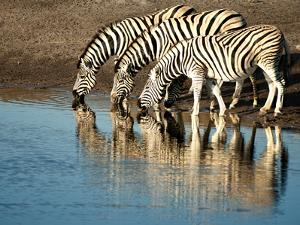 Trio of Common Zebras (Equus Burchelli) at a Water Hole, Etosha National Park, Namibia, Africa by Kim Walker