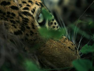 A Male Leopard Dozes During the Heat-Of-The-Day