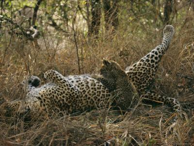 Baby Leopard Nurses during the Heat of the Day