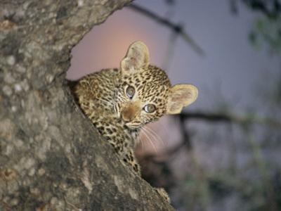 Baby Leopard Peeks Out from Behind a Tree Trunk