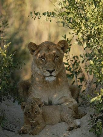 Baby Lion, Panthera Leo, Rests at Its Mother's Feet