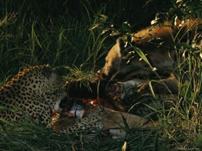 Following a Game of Tug-Of-War over a Impala,Tjololo and a Spotted Hyena Feast on the Carcass