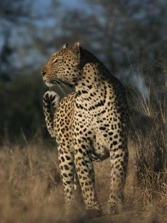Full Grown Leopard