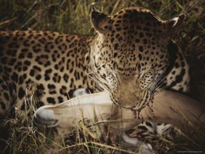 Leopard Bites Into the Neck of Its Fallen Prey