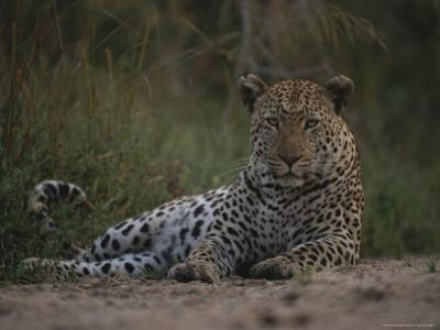 Leopard, Panthera Pardus, Resting on a Patch of Cool Soil