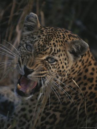 Leopard Snarls at the Camera