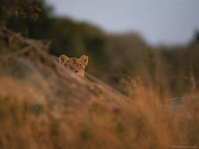 Lion Peers From the Cover of a Large Rock