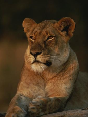 Lion Strikes a Restful Pose in Afternoon Sun