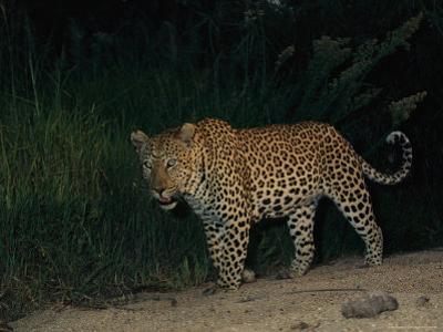 Male Leopard on Patrol at Night
