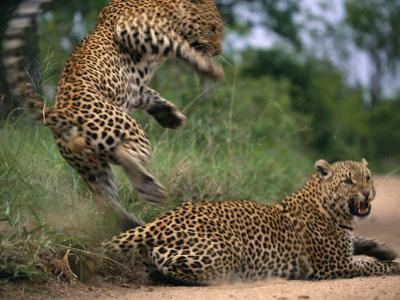 Mating Accomplished, Tjololo Springs Backward off His Partner Before She Can Turn on Him