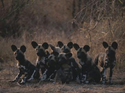 Pack of Young Cape Hunting Dogs Sit on Their Haunches and Rest