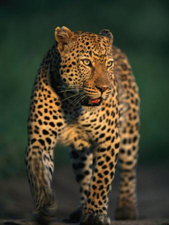 Portrait of a Five-Year-Old Leopard