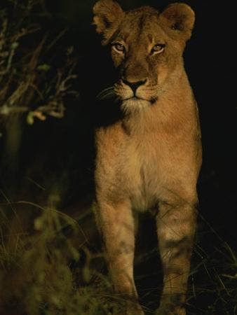 Portrait of an African Lioness in the Sun