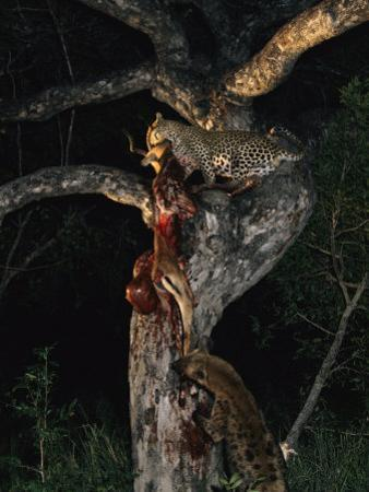 Tjololo, a Five-Year-Old Leopard, and a Spotted Hyena Engage in a Tug-Of-War over an Impala